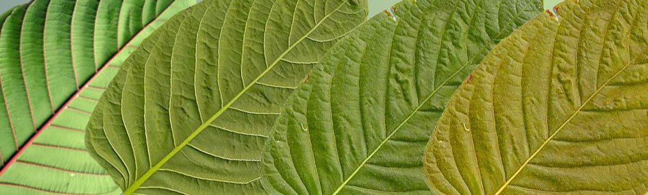 Kratom Products and Strains
